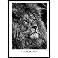 LION PORTRAIT B&W POSTER - Plakat 50x70 cm