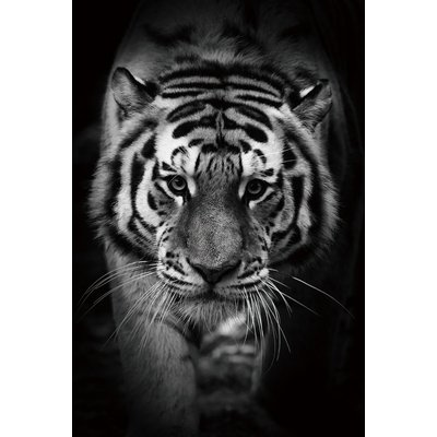 Glassbilde Tiger - 120x80 cm